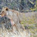 I camped among lions in Central Kalahari…