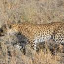1 Leopard vs 50 Steenbok